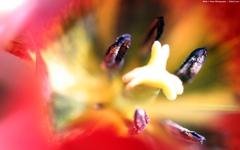 High-resolution desktop wallpaper Tulipation by Blake J. Nolan