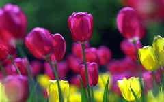 High-resolution desktop wallpaper Spring Tulips by David Stys