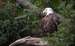 High-resolution desktop wallpaper American Bald Eagle by chickenwire
