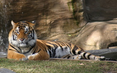 High-resolution desktop wallpaper Tiger at Dreamworld by Tyroga