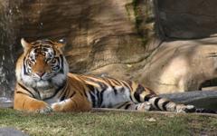 High-resolution desktop wallpaper Tiger at Dreamworld by Tyroga