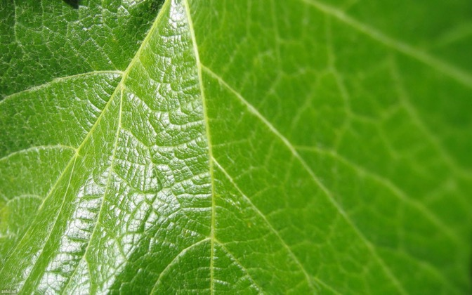 High-resolution desktop wallpaper Grape Leaf by Scott Hill (smhill.net)