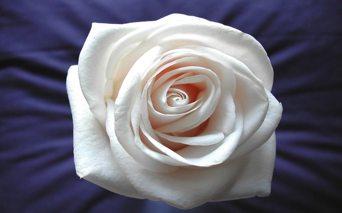 High-resolution desktop wallpaper White Rose by anto