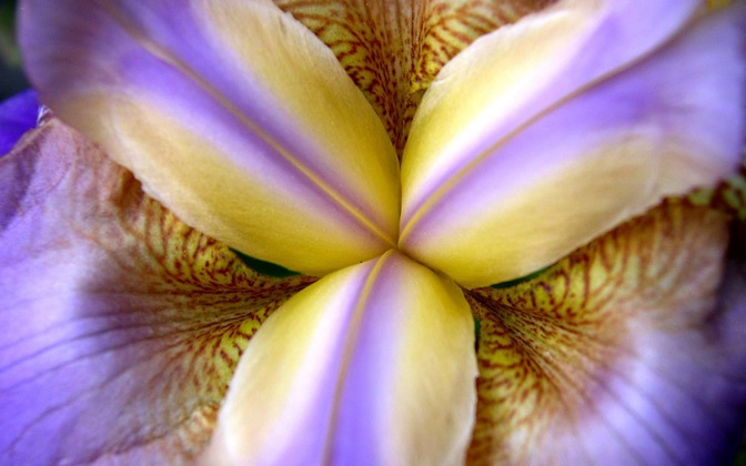 High-resolution desktop wallpaper Purple Iris by aaronc