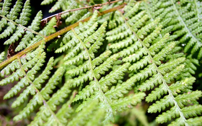 High-resolution desktop wallpaper Ferns by aaronc