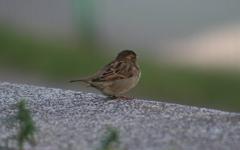 High-resolution desktop wallpaper Sparrow by Nacelle