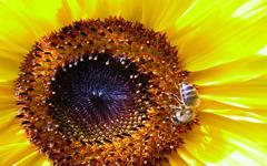 High-resolution desktop wallpaper Sunflower Bee by danimar