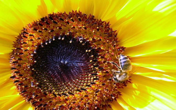 High-resolution desktop wallpaper Sunflower Bee by danimar