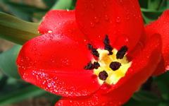 High-resolution desktop wallpaper Scarlet Tulip by Neil Beaty