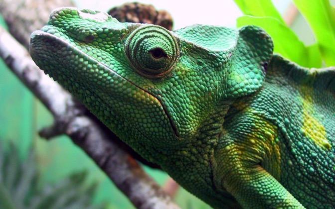 High-resolution desktop wallpaper Parson's Chameleon by Kevin Ha