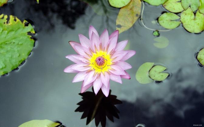 High-resolution desktop wallpaper Flower from Martinique by Sylvain ALLAIN