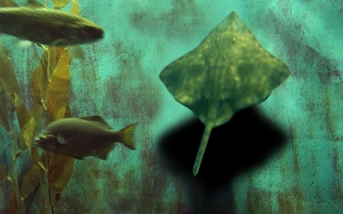 High-resolution desktop wallpaper Sting Ray Samba by strawberried
