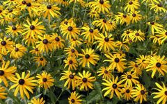 High-resolution desktop wallpaper Rudbeckia by Applepiebaker
