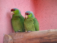 High-resolution desktop wallpaper Two Parrots by padeath
