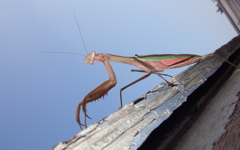 High-resolution desktop wallpaper Praying Mantis by Xerxes