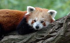 High-resolution desktop wallpaper Panda Roux 3 by Niko