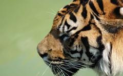 High-resolution desktop wallpaper Tiger by Niko