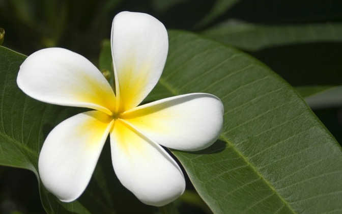 High-resolution desktop wallpaper Fijian Frangipani by ardin