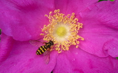 High-resolution desktop wallpaper Syrphid Fly on a Rugosa Rose by bu11frogg