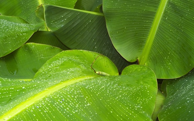 High-resolution desktop wallpaper Banana Leaves by TheFozz