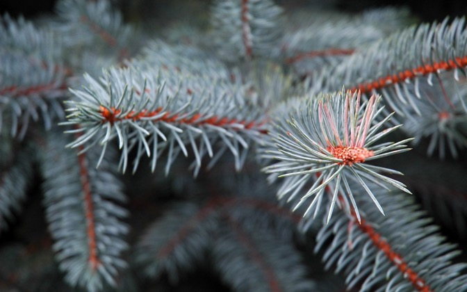 High-resolution desktop wallpaper Pine Needles by Jon Michael