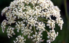High-resolution desktop wallpaper Queen Anne's Lace by Geoff Puryear