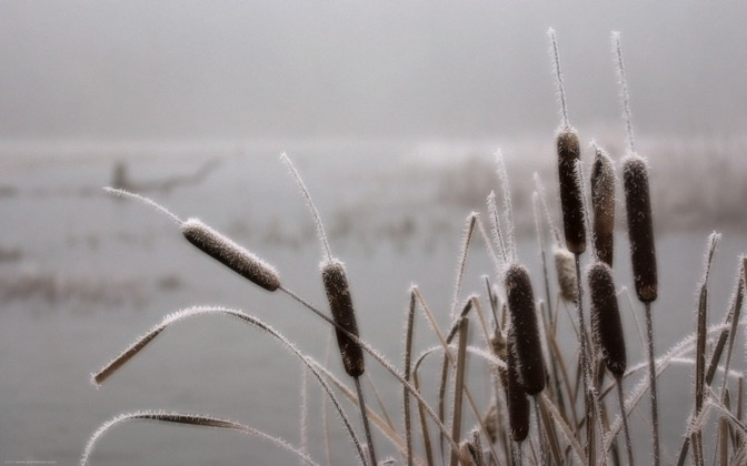 High-resolution desktop wallpaper Frosted Cat Tails by Andy Purviance