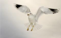 High-resolution desktop wallpaper Seagull Against an Overcast Sky by TheFozz