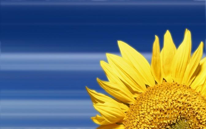 High-resolution desktop wallpaper Sunflower by 1428west