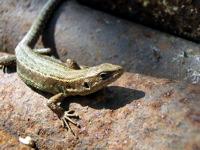 High-resolution desktop wallpaper Lizard by tosha