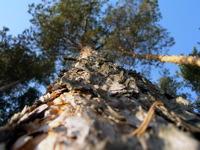 High-resolution desktop wallpaper Pine by tosha