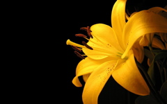 High-resolution desktop wallpaper Yellow Lilly by jfwberg