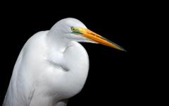 High-resolution desktop wallpaper White Heron by TheFozz