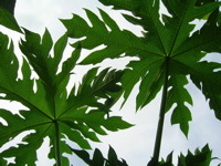 High-resolution desktop wallpaper Papaya Leaves by Tigrrr