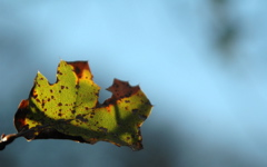 High-resolution desktop wallpaper Oak Leaf by dimage