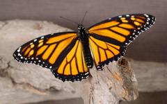 High-resolution desktop wallpaper Butterfly Repose by Neil Beaty