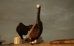 High-resolution desktop wallpaper Hello Pelican by surfologist87