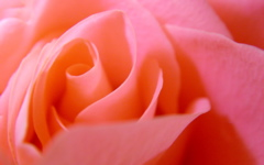 High-resolution desktop wallpaper Pink Rose by bbchoice