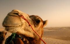High-resolution desktop wallpaper Camel by Daniel de Oquiñena
