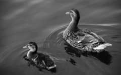 High-resolution desktop wallpaper Duck and Fledgling by Oliver Nimz