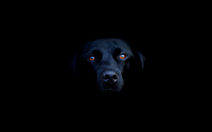 High-resolution desktop wallpaper Black Lab by jackp