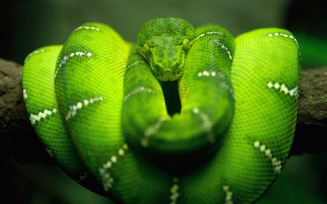 High-resolution desktop wallpaper Tree Snake on Branch by GF23