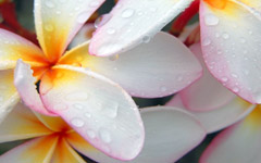 High-resolution desktop wallpaper Plumeria after Morning Rain by jebasa07