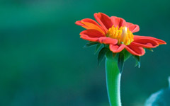 High-resolution desktop wallpaper Red Gerbera by Jeruel