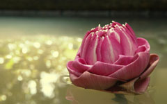 High-resolution desktop wallpaper Lotus, Thailand by ppgkoy