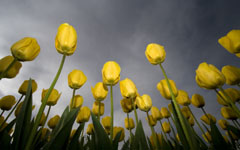 High-resolution desktop wallpaper Low-Angle Tulips by Lyle Krannichfeld