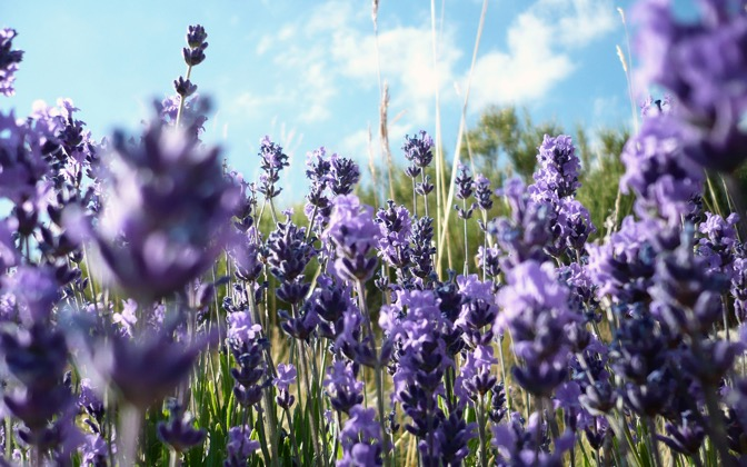 High-resolution desktop wallpaper Lavender by KotKotCodec