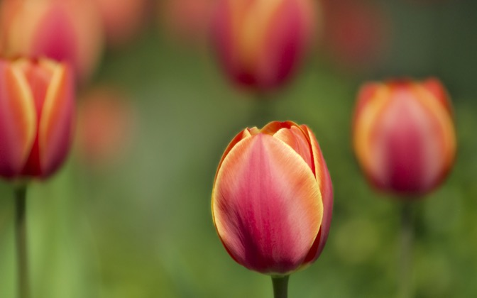 High-resolution desktop wallpaper Tulips by Zygfryd Homonto