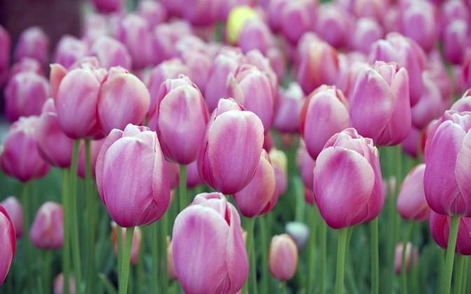 High-resolution desktop wallpaper Pink Blossom Tulips by Eddie Cohen