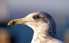 High-resolution desktop wallpaper Seagull by R. Boccio